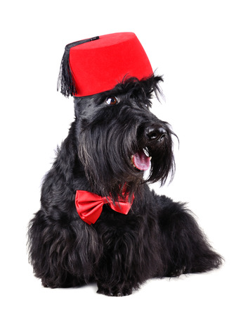 Scotch terrier wearing a red bow tie and a fez isolated on a white  photo