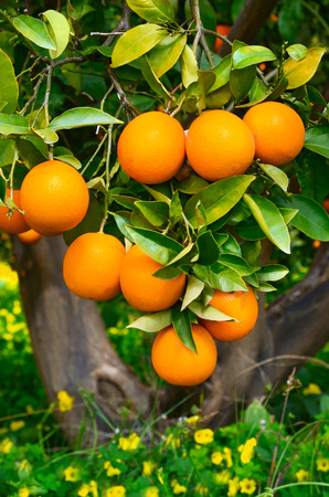citrus tree: Yellow oranges growing on a tree with green leaves Stock Photo