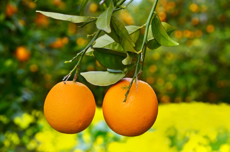citrus tree: Two yellow oranges on a tree  on a yellow flowers backggound