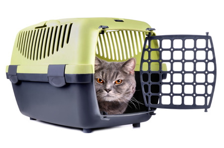 cat carrier: Gray cat looking from carrier box on a white background