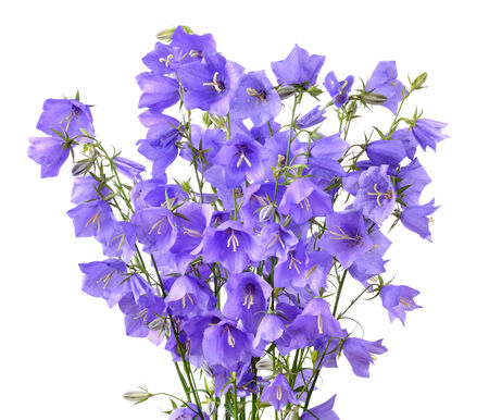 Bouquet of blooming forest bellflowers or Campanula rotundifolia isolated on a white background photo