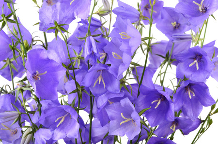 Background from blue flowers or Purple Harebell photo