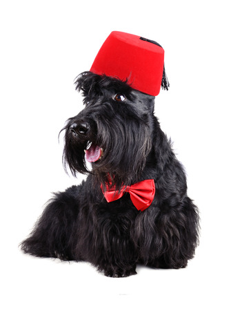 Scotch terrier in red bow tie and in traditional moroccan fez on a white background photo