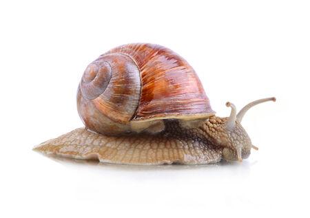 sluggish: Crawling garden snail isolated on a white background