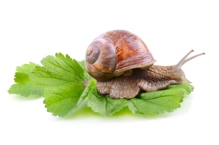 slither: Big garden snail sitting on a green leaf on a white background Stock Photo