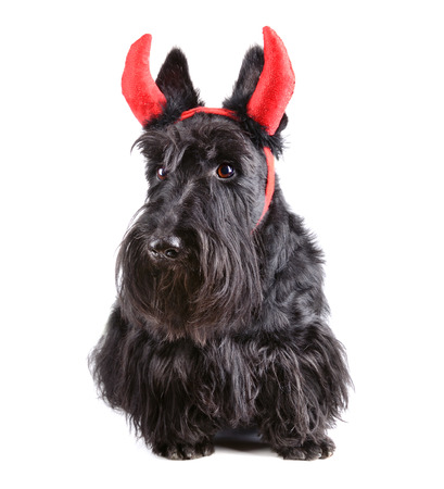 Scotch terrier wearing a devil costume on white background photo