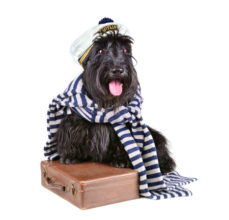 Scotch terrier in stripped vest sitting on brown bag on a white background photo