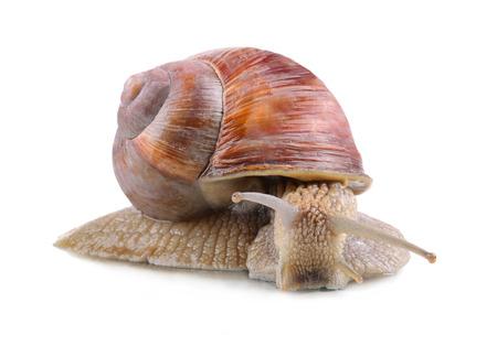 Big garden snail on a white background Banco de Imagens