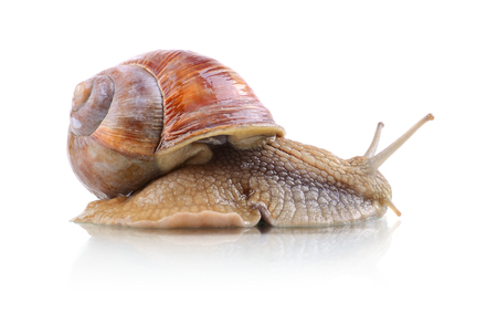 Crawling Helix Aspersa snail isolated on a white background
