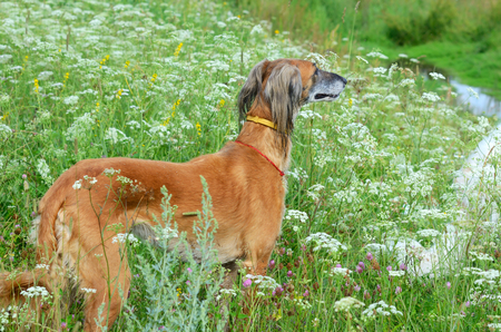 Brown Saluki or Kazakh greyhound Tazi and white Russian wolfhound standing on a wildflowers meadow