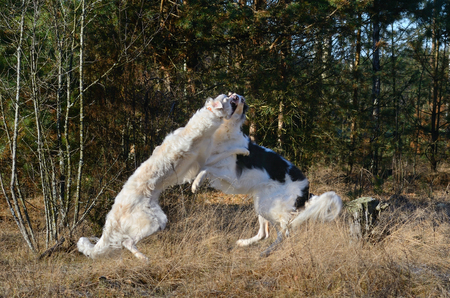 Two hunting russian wolfhounds fighting on a wood background Stock Photo