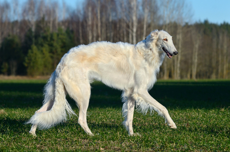 White russian wolfhound dog standing on a green grass