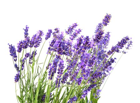Bunch of fresh lavender flowers isolated on a white 版權商用圖片
