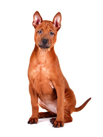 Sitting three months old puppy of Thai Ridgeback isolated on a white