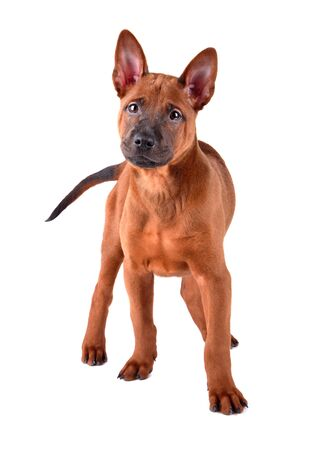 Standing puppy of red Thai Ridgeback isolated on a white Banco de Imagens
