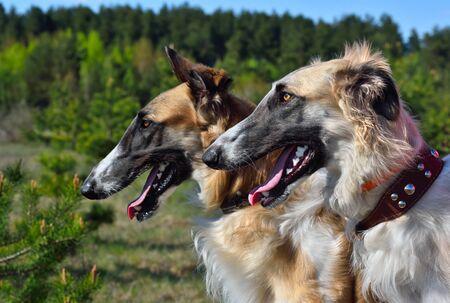 Portrait of two russian borzoi dogs on a rural background Archivio Fotografico