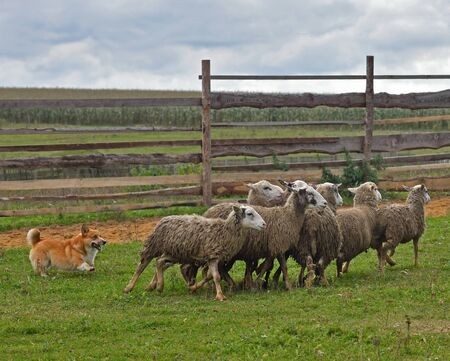 Welsh Corgi working as sheepdog with flock of sheep in a meadow