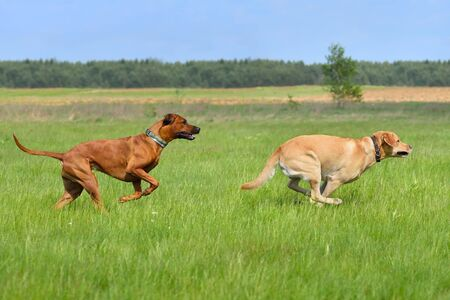 Labrador retriever and Ridgeback having fun in a green field Stock Photo