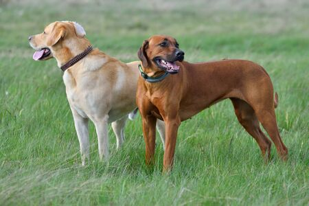 Labrador retriever and Ridgeback standing in a green grass field Stock Photo