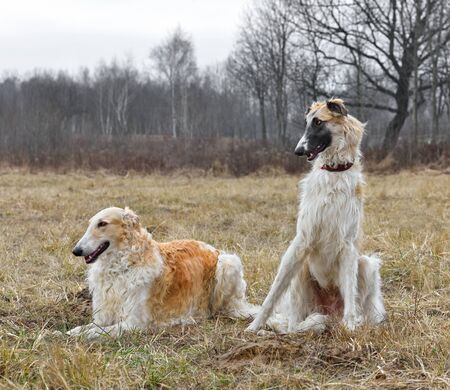 Two russian wolfhoundsreasting on a field background Stock Photo