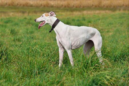Standind del cane levriero bianco su un'erba verde