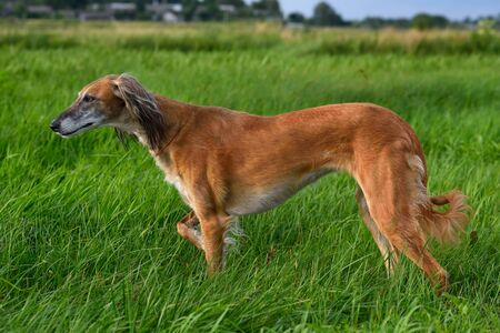 Brown Kazakh greyhound Tazi or Saluki standing on a green grass