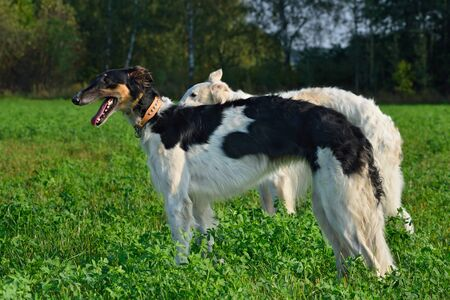 Black and white russian wolfhound dogs on a green grass Stock Photo