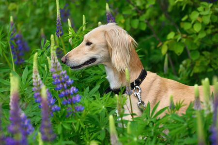Hunting borzoi dog Saluki or Kazakh greyhounds Tazi in forest with summer flowers Stock Photo