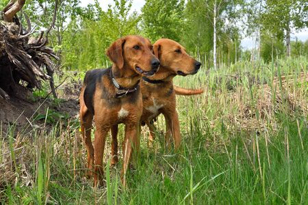 Belarusian Gonchak hound, a National dog breed of Belarus on a green forest background 版權商用圖片