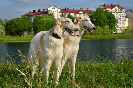 Two white russian wolfhound doga standing on a river background