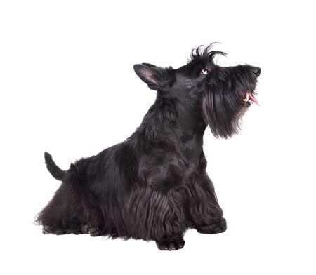 Schwarzer Scotch Terrier sitzt auf weißem Hintergrund Standard-Bild