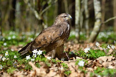 Falcon sitting on green grass and spring flowers in a forest