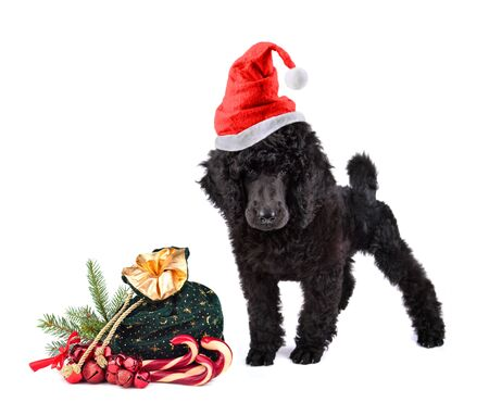 Black poodle in red Santa Claus hat with bag full of gifts on a white background
