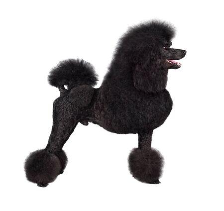 Standard black poodle standing on white backgraund