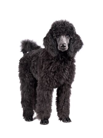 Three months old puppy of standard black poodle isolated on a white background