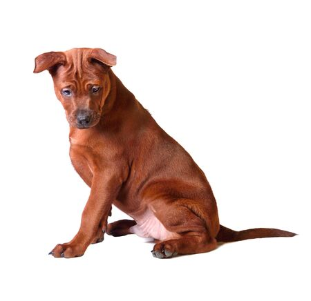 Cute three months old puppy of Thai Ridgeback sitting on a white background Stock Photo
