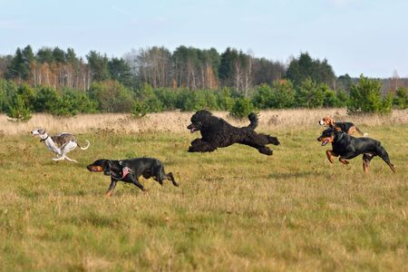 Group of dogs running across the autumn field during on a coursing training