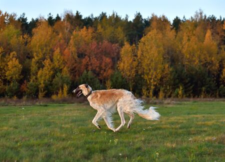 Russian borzoi dog running across the autumn field during on a coursing training Stock Photo