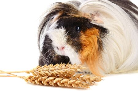 Cute guinea pig eating wheat stems with seeds isolated on a white background