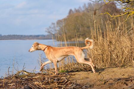 Beautiful borzoi dog Saluki or Kazakh greyhounds Tazy jumping in water on a river bank background