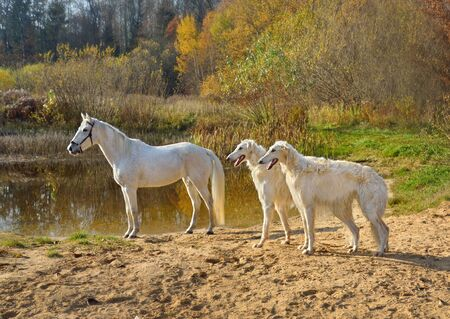 White horse standing with two beautiful Russian wolfhound dogs on a river bank Archivio Fotografico