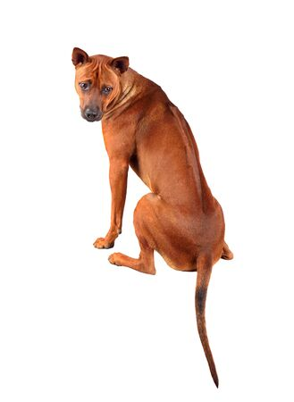 View from the back of cute young Thai Ridgeback dog isolated on a white backgraund