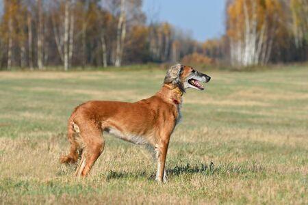 Beautiful borzoi dog Saluki or Kazakh greyhounds Tazy standing on a rural field background
