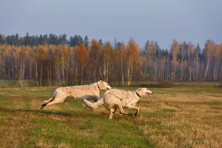 Two white Russian hunting wolfhounds running across the autumn field