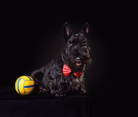 Six months old puppy of Scotch terrier in red necktie playing with yellow ball on a black background