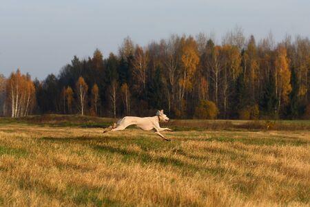 Beautiful borzoi dog Saluki or Kazakh greyhounds Tazy running across the autumn field
