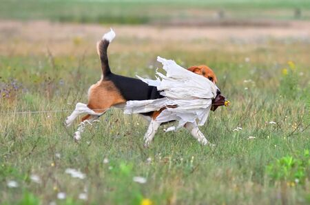 Beagle catching a bait on a coursing training Stock Photo