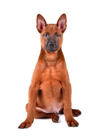 Cute three months old puppy of Thai Ridgeback sitting on a white background