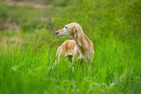 Beautiful borzoi dog Saluki or Kazakh greyhounds Tazy standing in a green grass Stock Photo