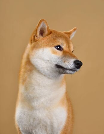 Cute portrait of Shiba inu dog isolated on yellow background